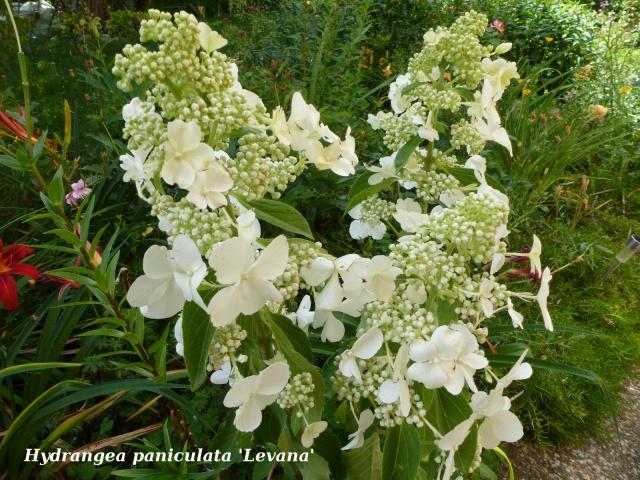 Hydrangea paniculata 412643200340tuxpicom1404210846