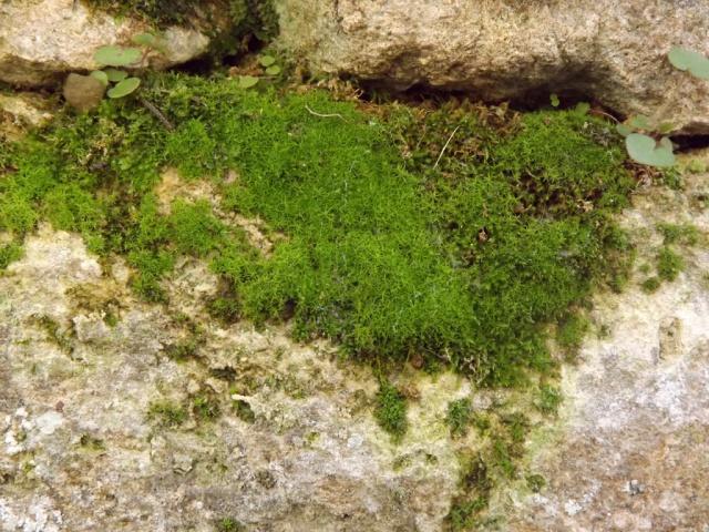 flore des vieux murs, rochers  et rocailles naturelles - Page 4 426655DSCF4865