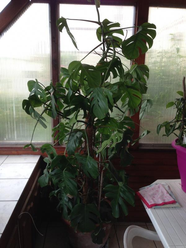 Philodendron-une plante facile à entretenir (variétés, floraison, fruit) 430927IMG5622