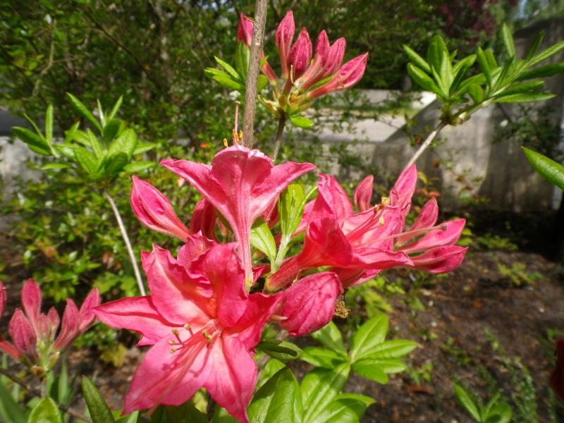 avril, jardin fébrile - Page 5 432644IMGP4337