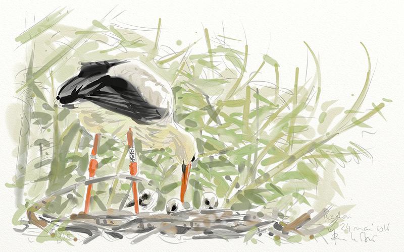 Cigogne blanche (Ciconia ciconia)  450165cigogne1