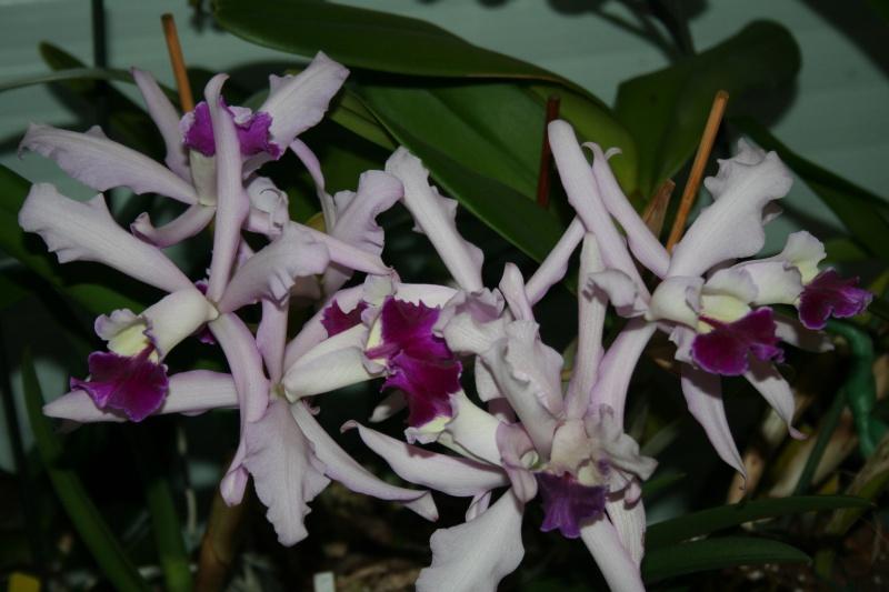 cattleya intermedia Laelia purpurata - Page 4 451124IMG9008