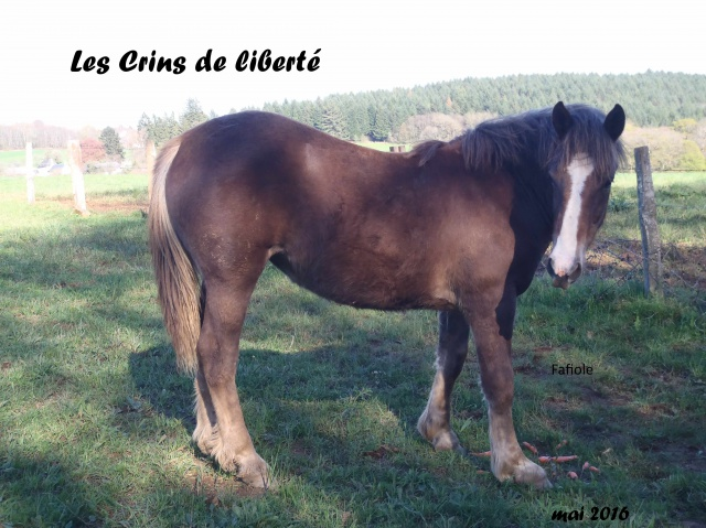 Dept19, 1 an, FAFIOLE, OC Trait Breton, réservée par Aline03 (Novembre 2016) - Page 2 459392P4180474
