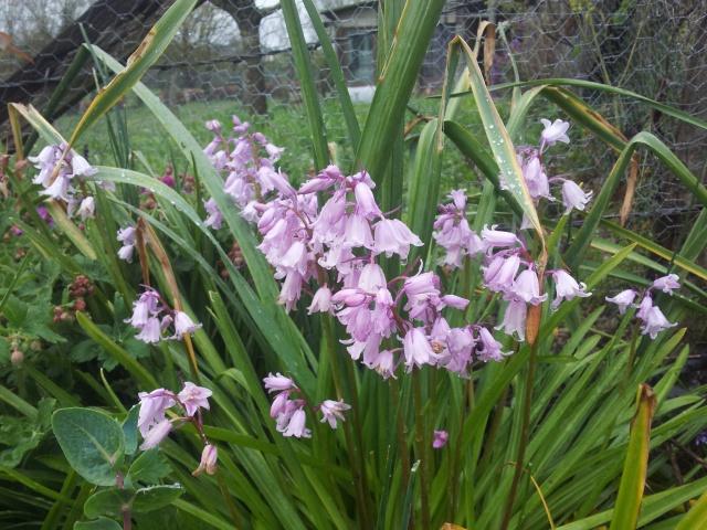 Jacinthe , Hyacinthus - Page 8 46053820160417105357