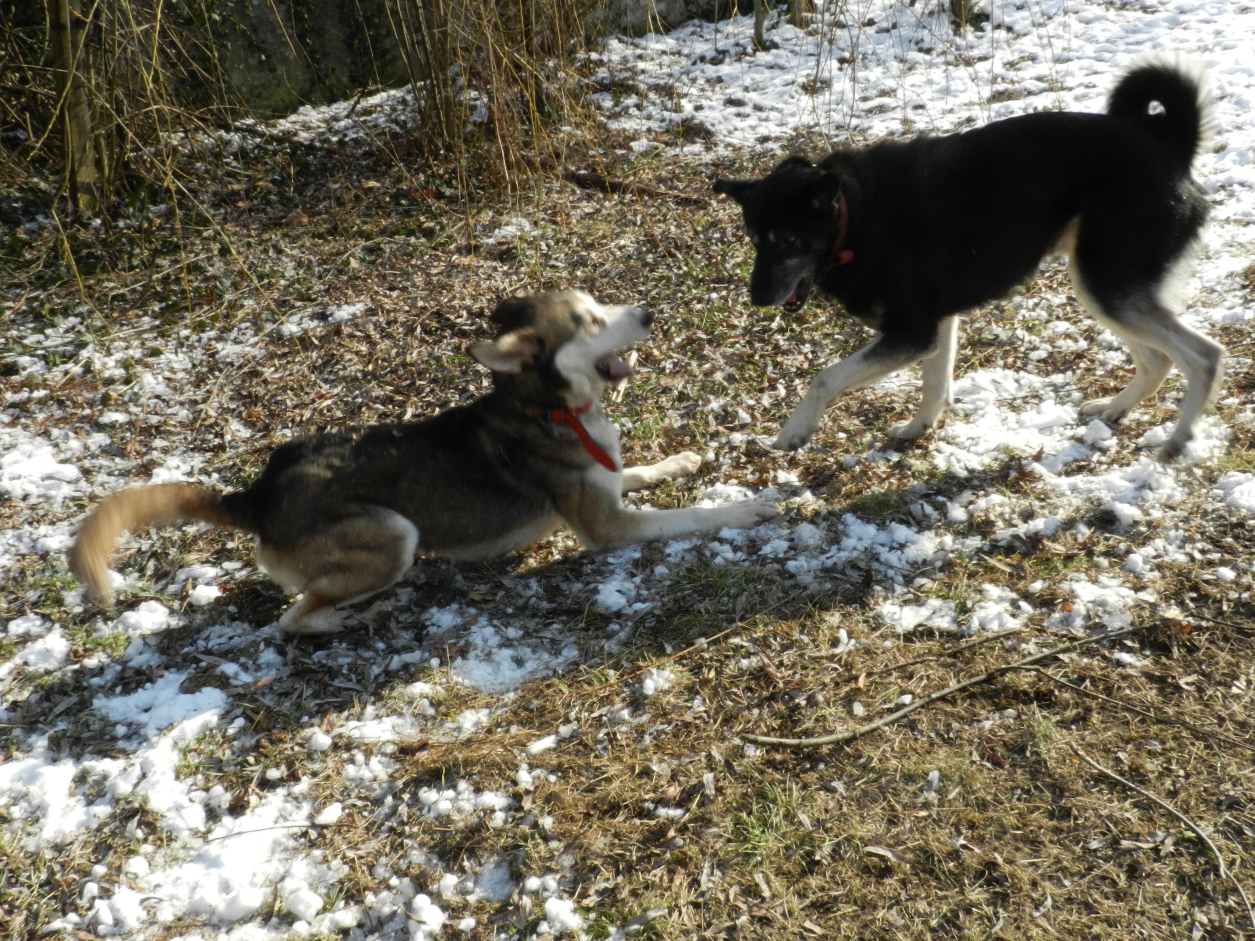 Link Berger X Husky mâle 5 ans gris et blanc PAR:38 ADOPTE 461840DSCN2044