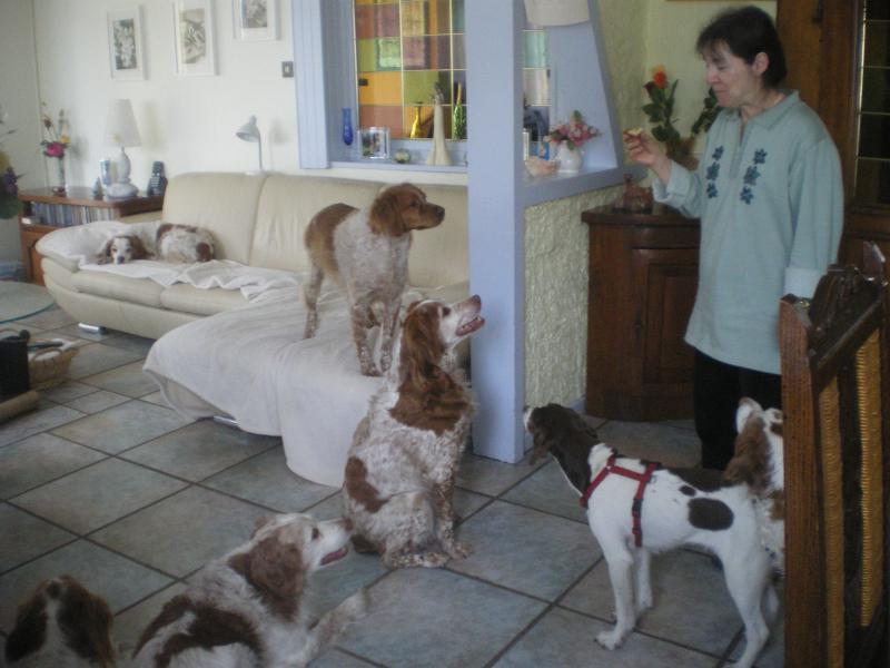 Deux mamies épagneules bretons, et leur famille dans le besoin 461889IMGP5246