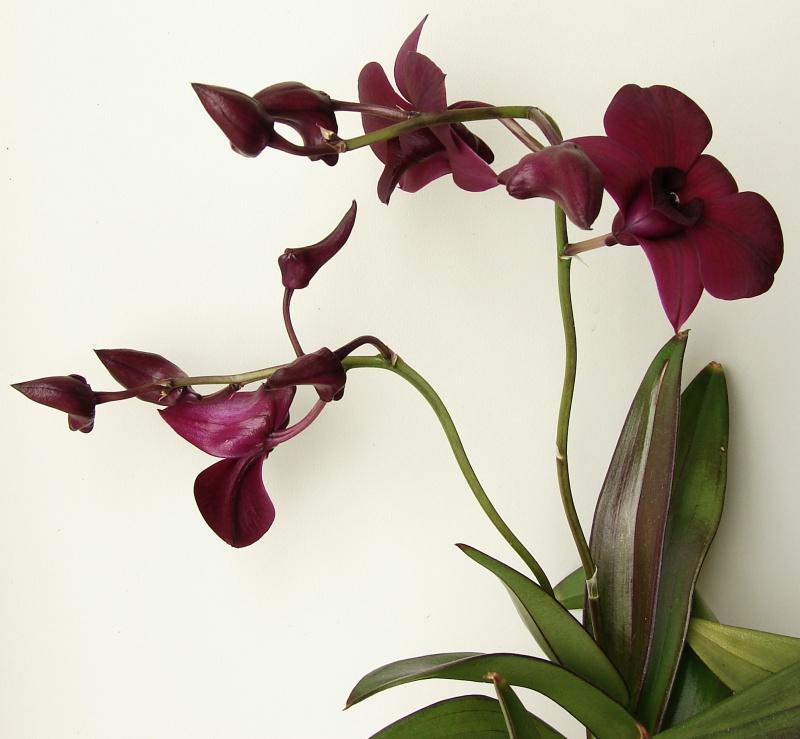 Dendrobium Thaïland Black (de type phalaenopsis) 463531dendro2014033003