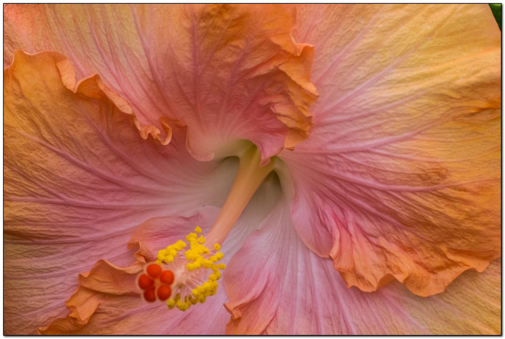 hibiscus saumon  46765314092014P1090564