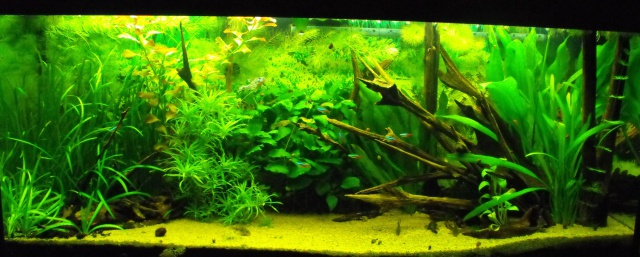mes aquariums 469183DSCF6176