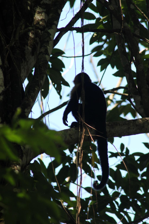 15 jours dans la jungle du Costa Rica 470855capucin1r