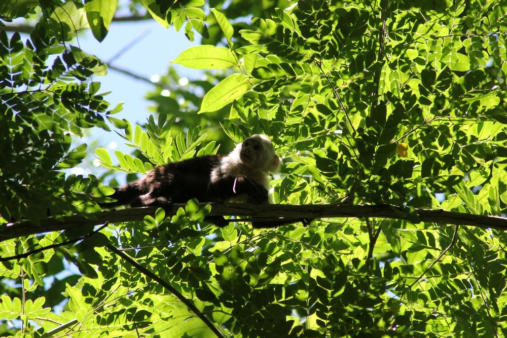 15 jours dans la jungle du Costa Rica 475926capucin2r