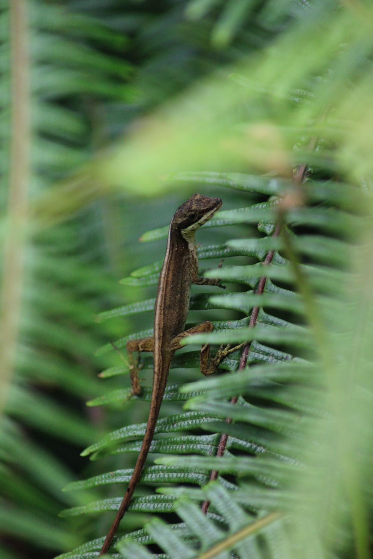 15 jours dans la jungle du Costa Rica - Page 2 480811anolisguayacanr