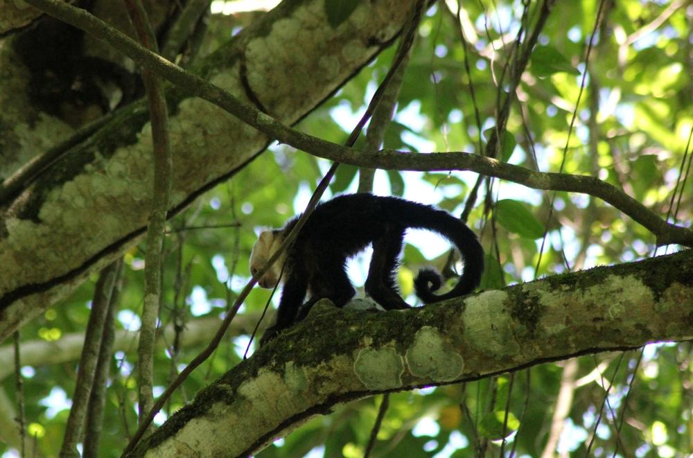 15 jours dans la jungle du Costa Rica 483390capucin3r