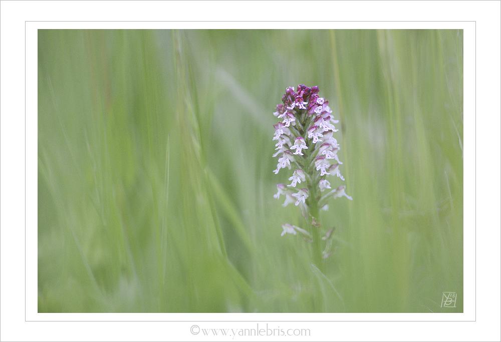 La saison des orchidées démarre 485123Orchisbrule11
