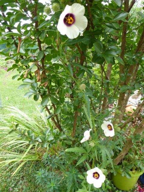 Hibiscus cannabinus - kénaf 486363tuxpicom1410633884