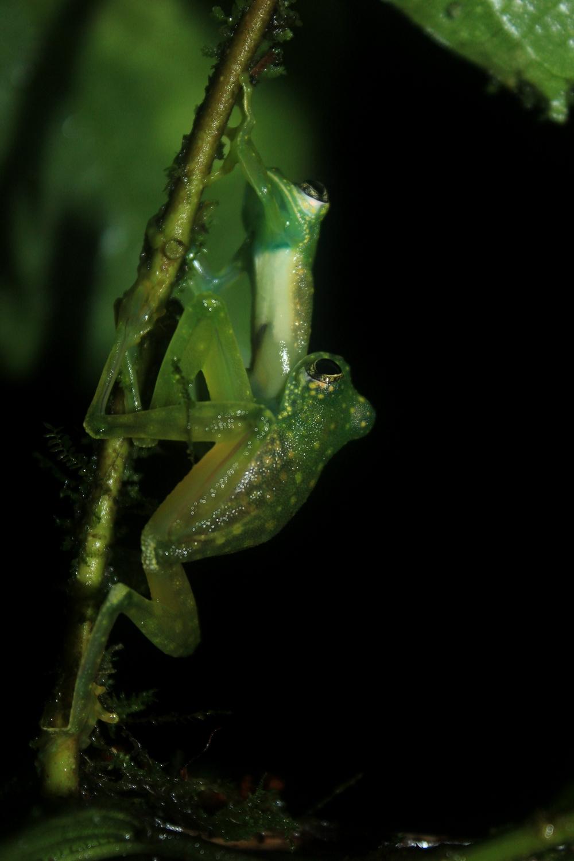 15 jours dans la jungle du Costa Rica - Page 2 493255fightingalbomaculata2r