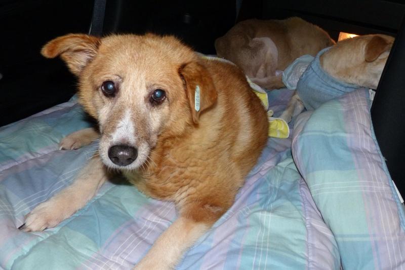 Fetitza, vieille chienne paralysée des membres inférieurs 493533P1060702