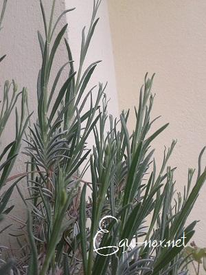 Tutoriel : les plantes magiques 493540lavande