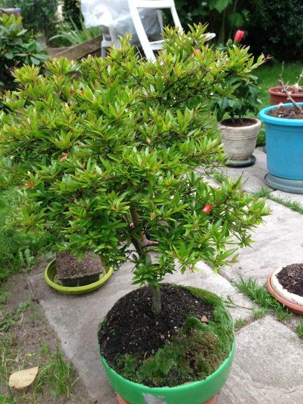 mes bonsaïs - Page 7 493807IMG5647