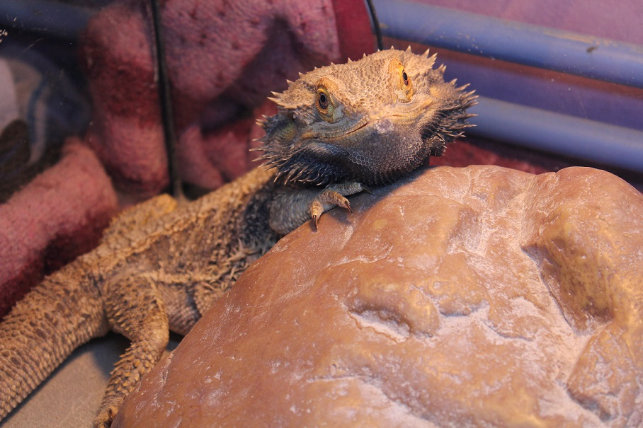 Besoin d'aide pour Bahamut (pogona) - Page 4 495262IMG3325