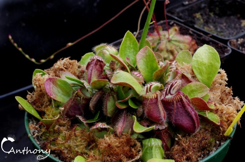 Fleur de cephalotus 496849IMGP5703