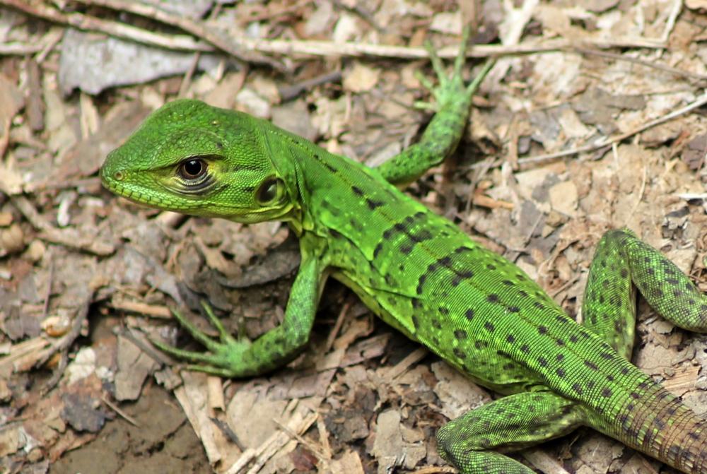 15 jours dans la jungle du Costa Rica 498703ctenojuv2