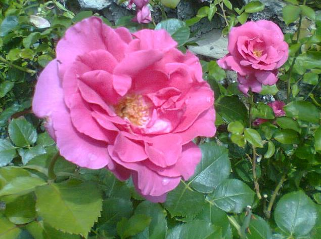 Fleurs  511121rosier