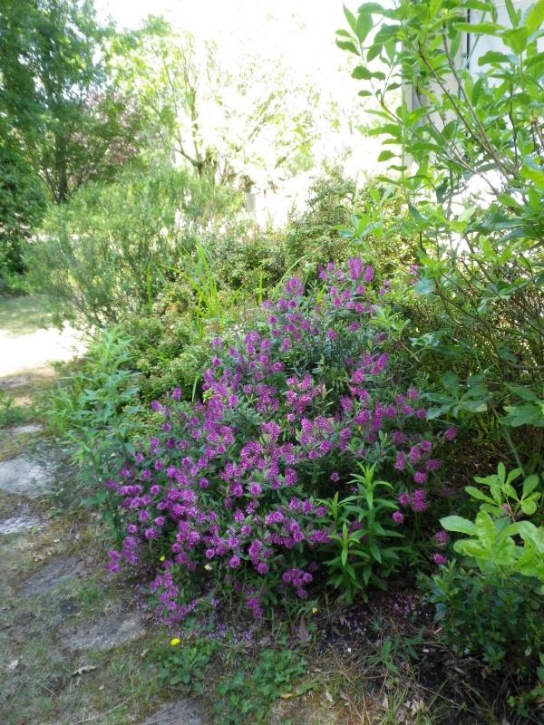 cadeaux du jardin, juin juin - Page 4 511398HebeIMGP4768