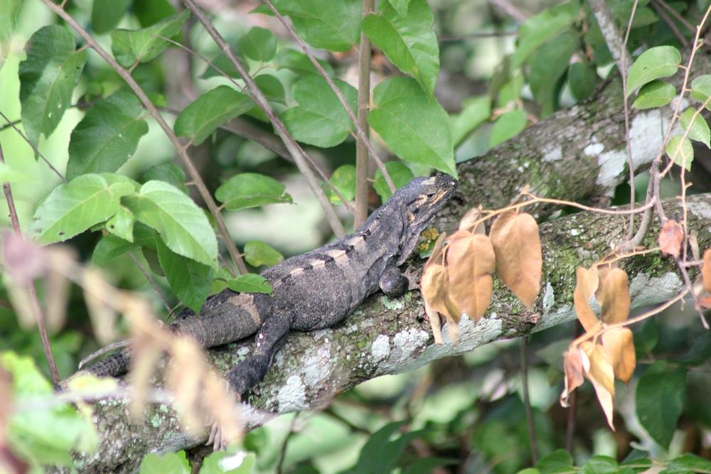 15 jours dans la jungle du Costa Rica 514959cteno1r