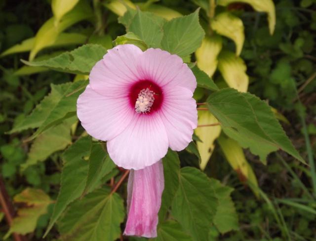 Hibiscus des marais rustiques - sujet général - Page 2 520554hibiscusrose1