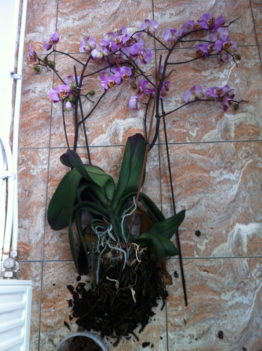 Reinflorire phalaenopsis forumul-florilor - Pagina 5 522514IMG2752