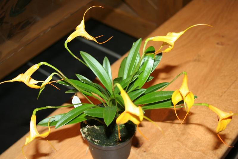 masdevallia hybride jaune 525815IMG8680