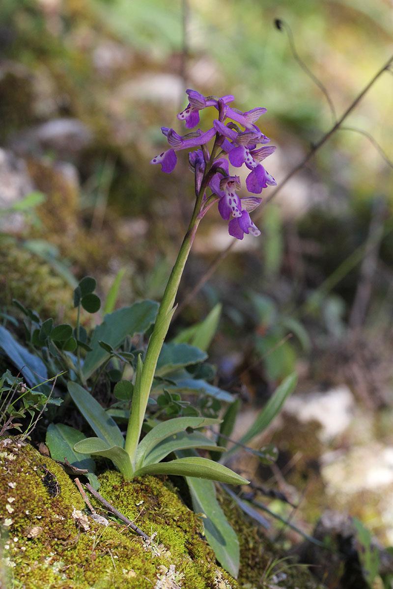 Anacamptis longicornu ( Orchis à long éperon ) 526906IMG5410forum