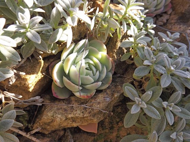 Echeveria elegans 527155Echeveriaelegans