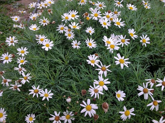 Floraisons de novembre 52880118.marguerites