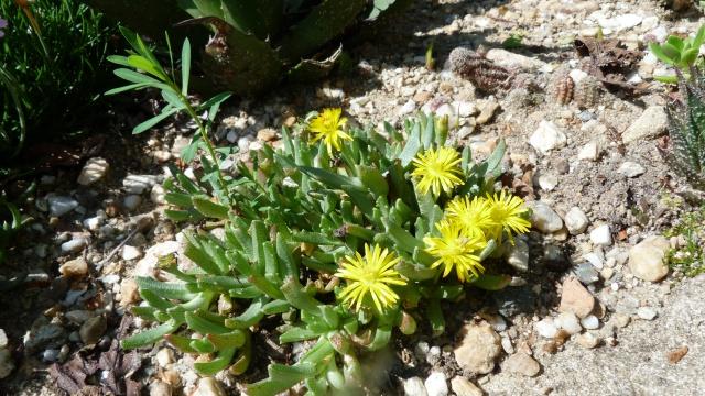 Chasmatophyllum willowmorense 534552P1120547