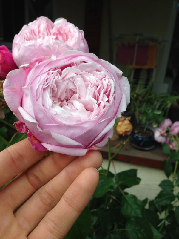 le royaume des rosiers...Vive la Rose ! - Page 13 535053IMG5675