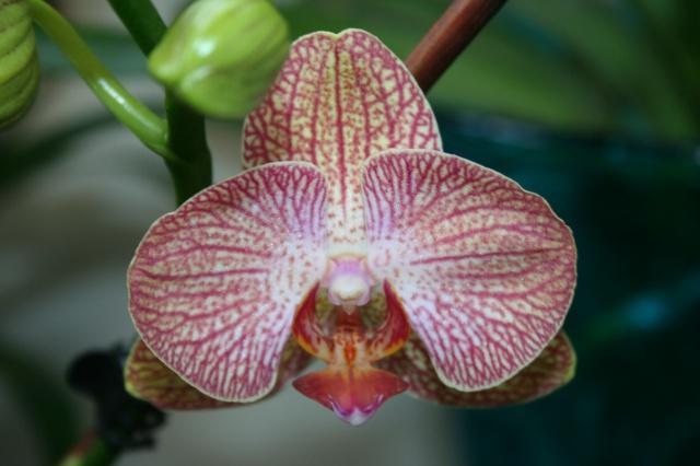 phalaenopsis, sauvetage reussi 537650IMG9925