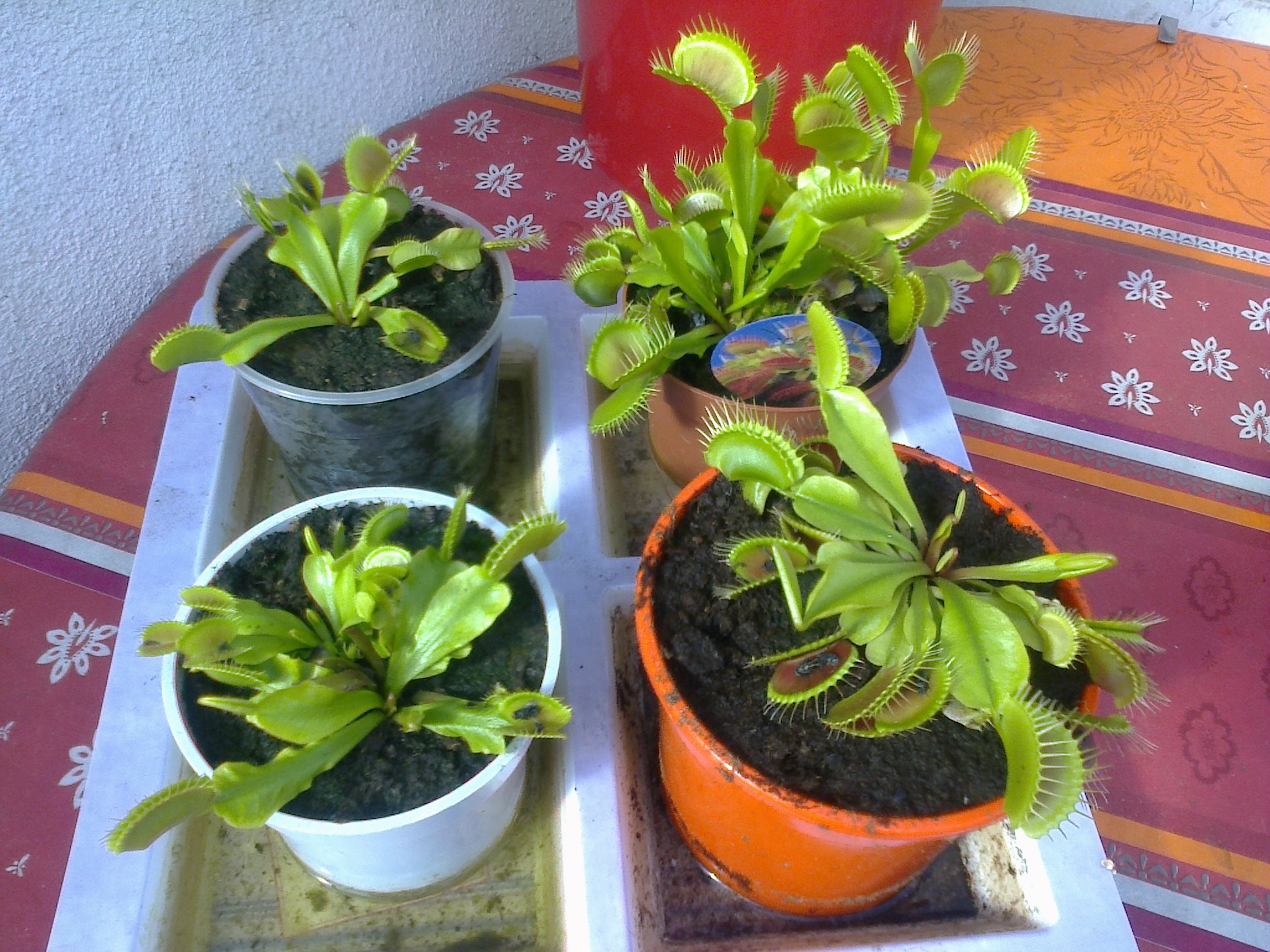jeune plantes carnivores 537900Photo0095