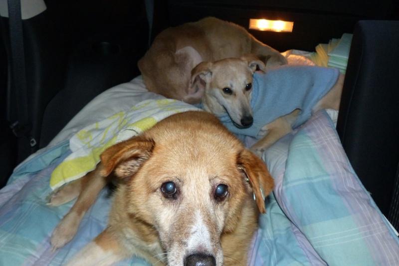 Fetitza, vieille chienne paralysée des membres inférieurs 539608P1060705