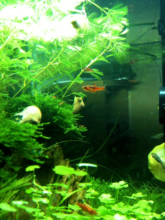 Mon Scaper's Tank 50L Aquascaping - Page 2 541839IMG0493