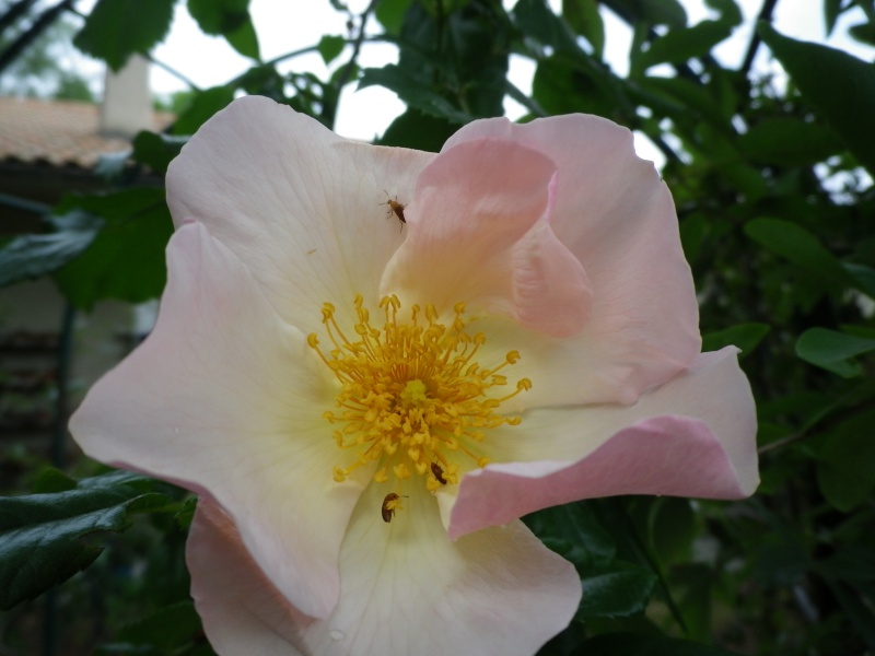 joli mois de mai, le jardin fait à son gré - Page 5 542796IMGP4677