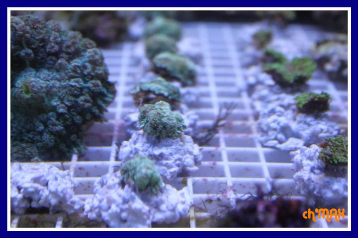 ce que j'amène en coraux a orchie  543102PXRIMG0052GF