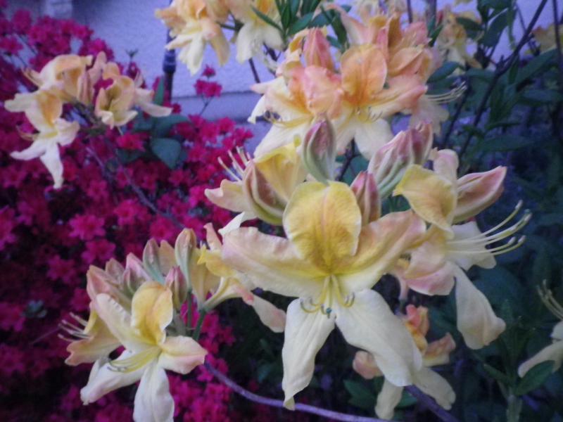 Quelques floraisons 547984AzalesIMGP1415