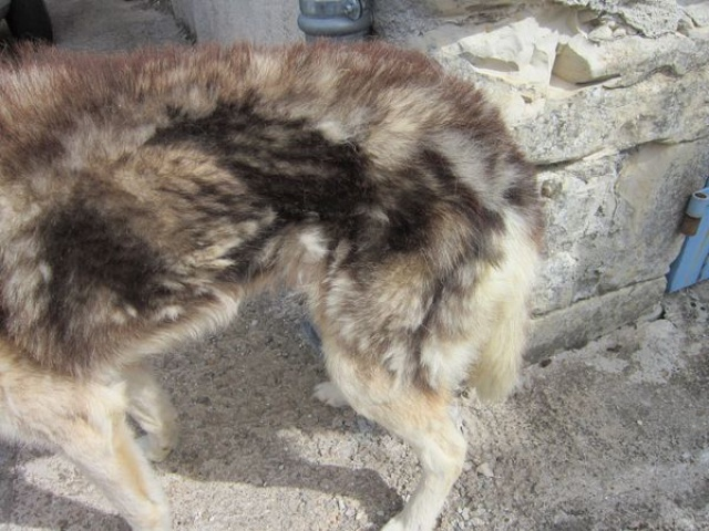 ALASKA (ex)LOUIS husky a l'attache depuis des années (m) 8 ans ref/79DECEDE     - Page 2 555986IMG3266