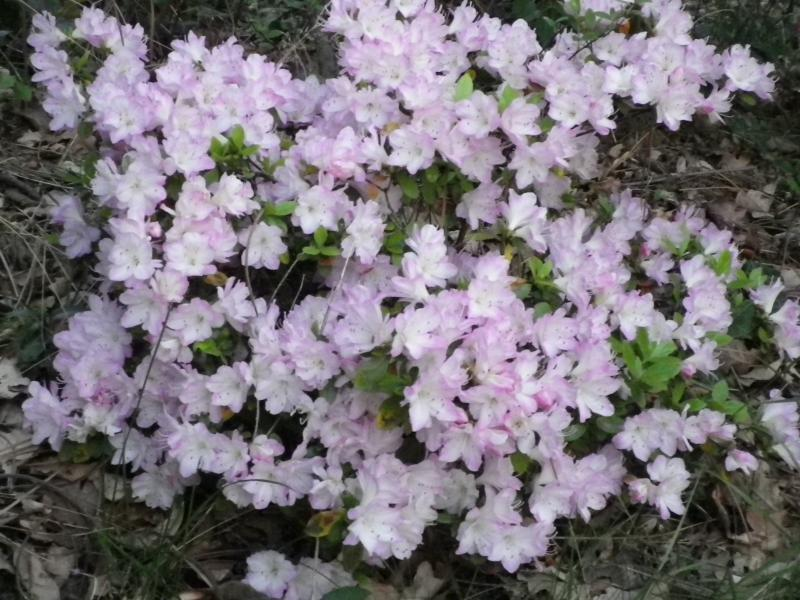 Quelques floraisons 556886AzaleIMGP1405