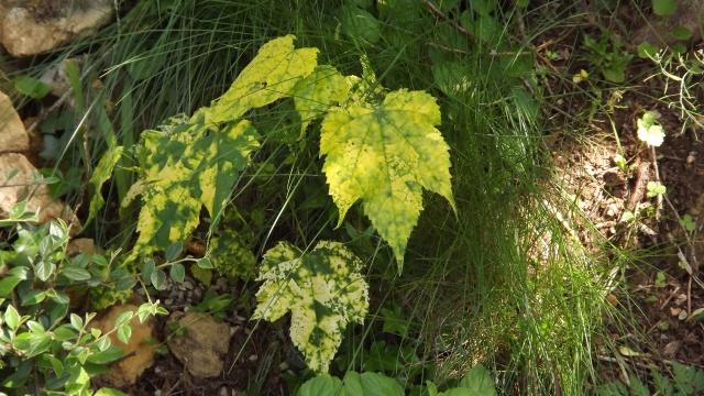 Quelques plantes d'ombre ou mi-ombre - Page 2 562219DSCF0738