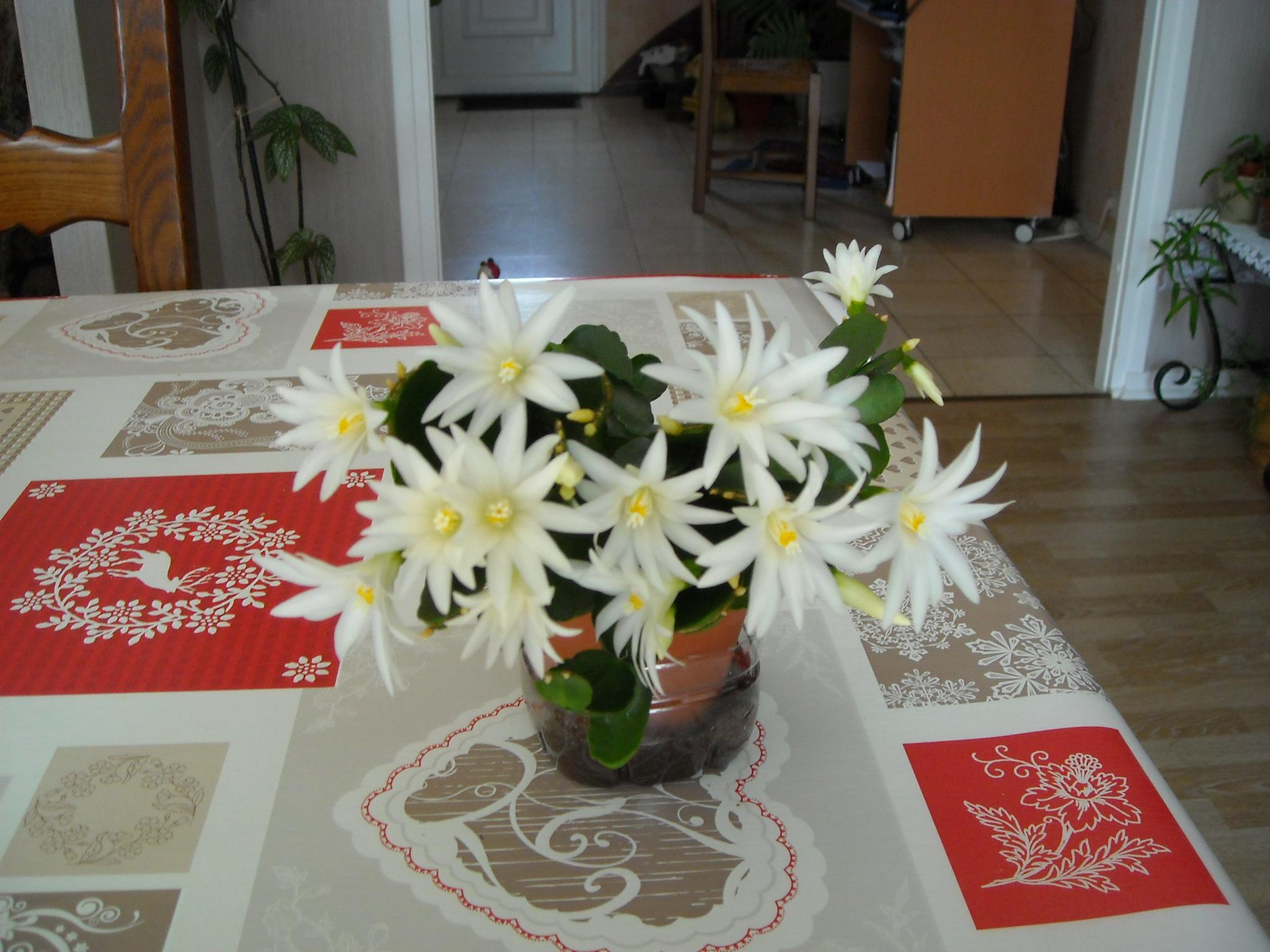 rhipsalidopsis 569401cactus019