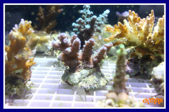 ce que j'amène en coraux a orchie  570585PXRIMG0038GF