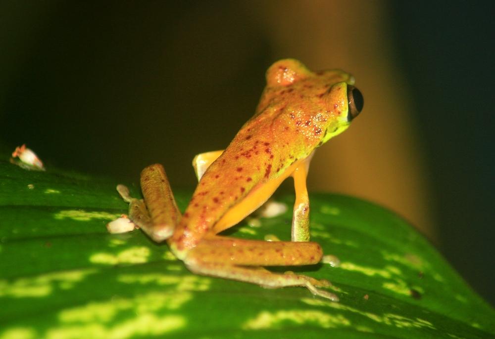 15 jours dans la jungle du Costa Rica - Page 2 571063lemur5r